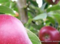 Яблочные концентраты