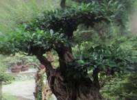 Израильскими учеными из базилика было создано дерево-бонсай.