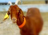 коза и козоферма