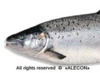 выращивание лосося в УЗВ